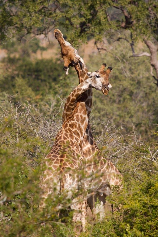 Hångla giraff royaltyfri bild