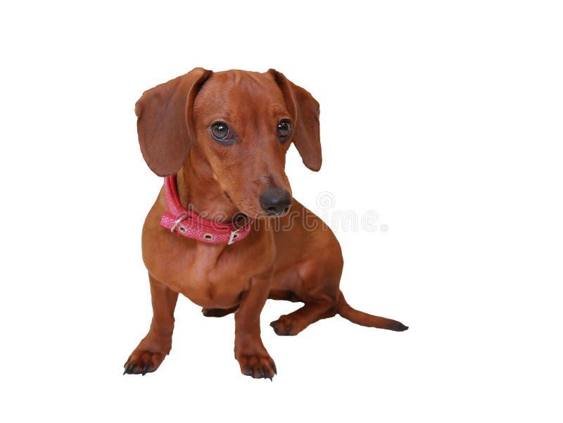 Hår för liten hund för tax isolerat gulligt kort arkivfoto