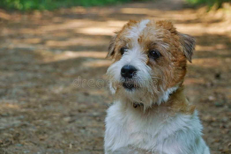 H?rd haired rasren p?ls- lydig ledsen Jack Russell Terrier siktscloseup p? sommarbakgrund som ser rak royaltyfria foton