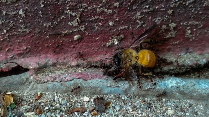 Hårda funktionsdugliga myror som arbetar i koordination för att bryta, äta och transportera honungsbit royaltyfria bilder