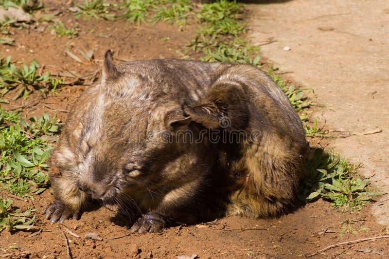 hårig nosed skrapande wombat royaltyfria foton
