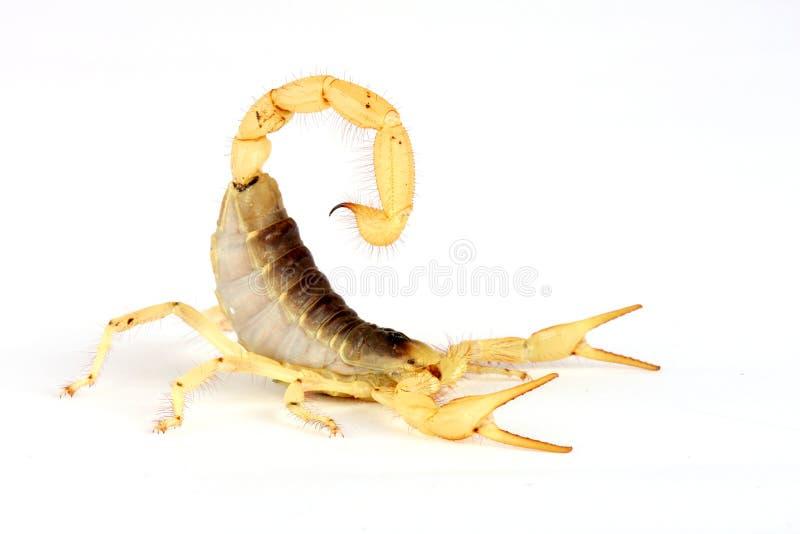 hårig scorpion för öken royaltyfri fotografi
