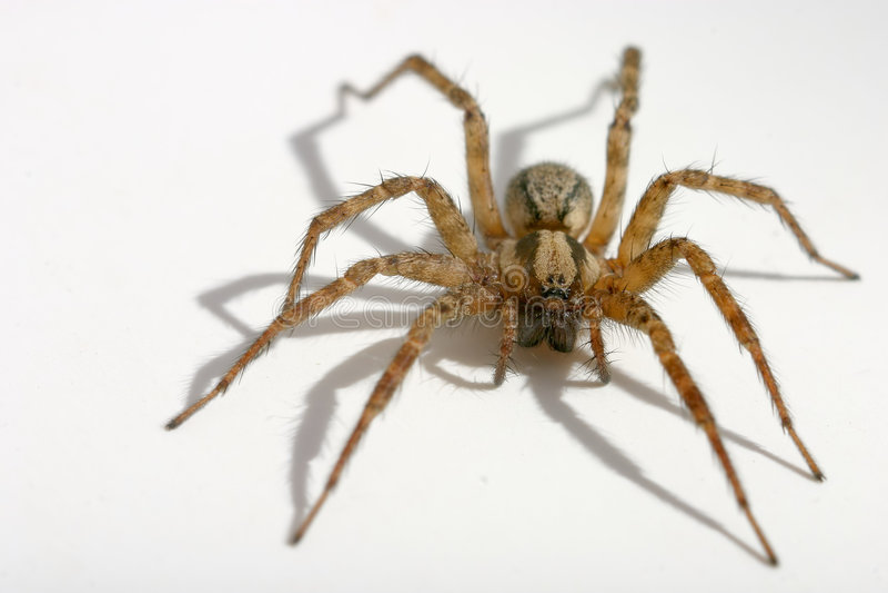 hårig spindel arkivbilder