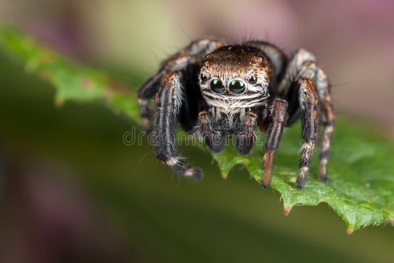 Hårig spindel på bladet royaltyfria foton