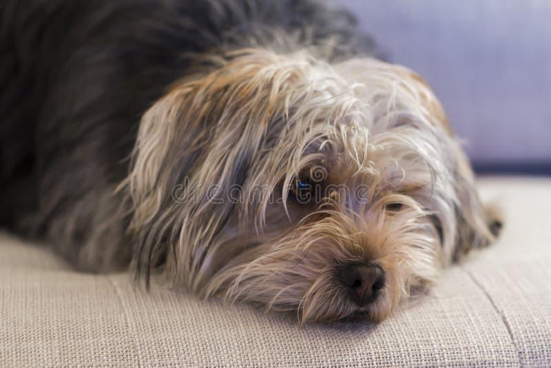 Hårig terrier för blandad avel som ligger på soffan som ser mycket misströstande royaltyfria bilder