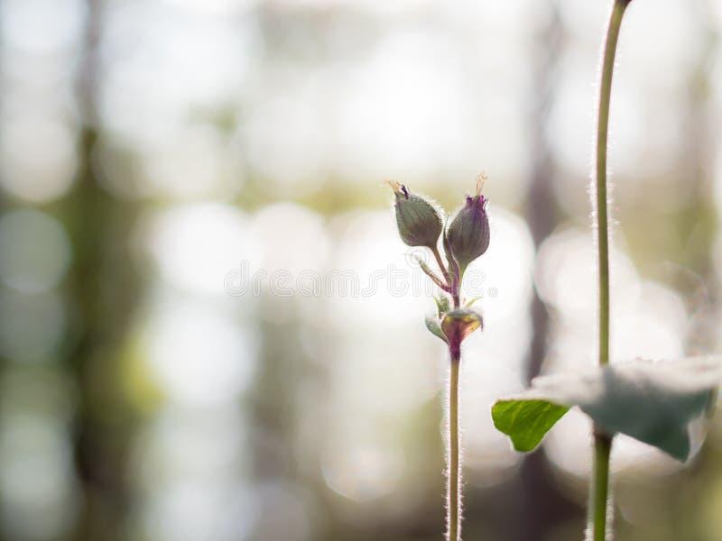 Håriga knoppar av av blomman för röd glim royaltyfria foton