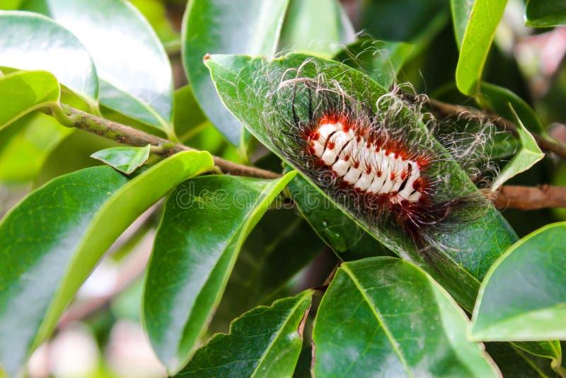 Hårigt avmaska av fruktväxter, gult med långa röda hår arkivbild