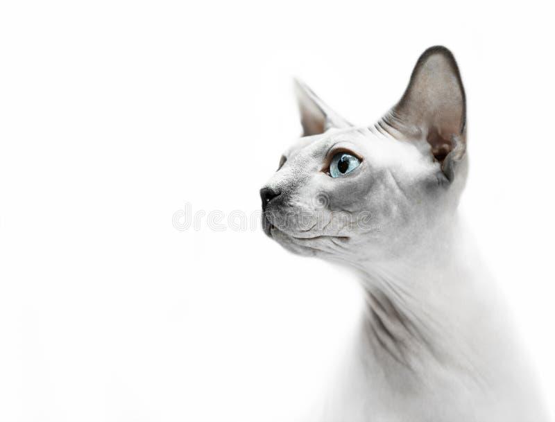 Hårlös kattsfinxstående arkivbild