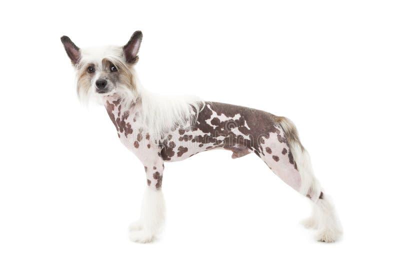 Hårlös kines krönade hunden framme av vit bakgrund royaltyfri bild