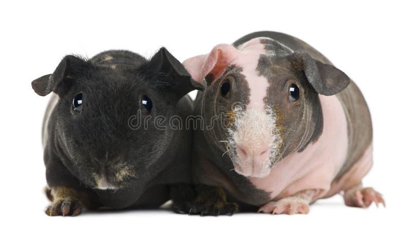 hårlös pigstanding för guinea fotografering för bildbyråer