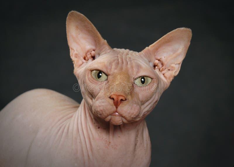 hårlös sphynx för katt arkivfoto