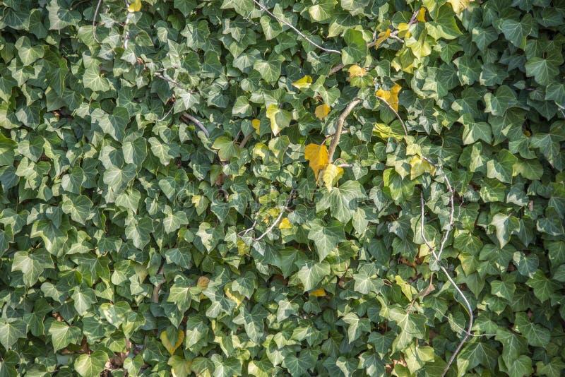 Hélice de Hedera verde da folha da hera em uma parede fotos de stock royalty free