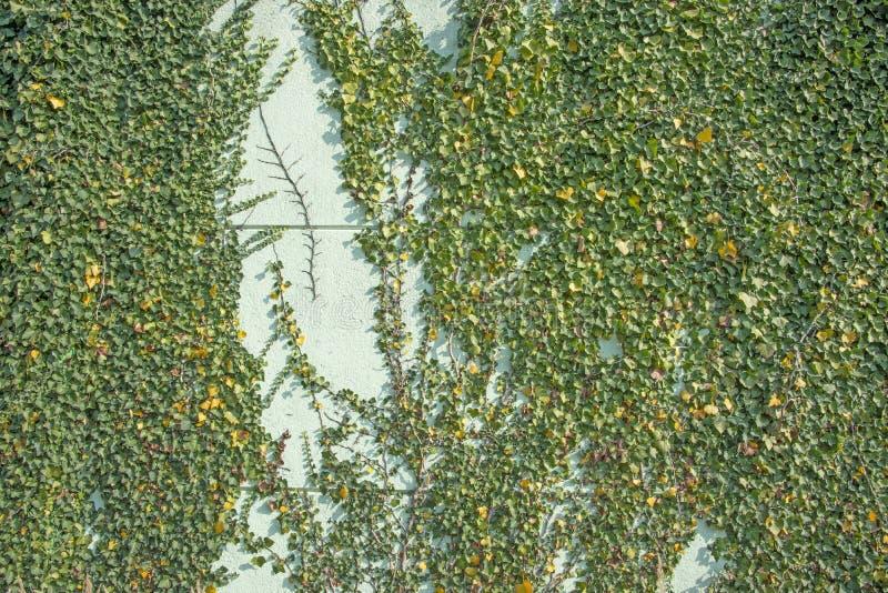 Hélice de Hedera verde da folha da hera em uma parede imagem de stock