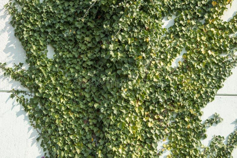 Hélice de Hedera verde da folha da hera em uma parede foto de stock