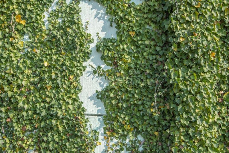 Hélice de Hedera verde da folha da hera em uma parede imagem de stock royalty free