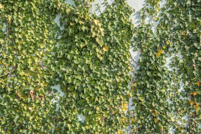Hélice de Hedera verde da folha da hera em uma parede fotos de stock