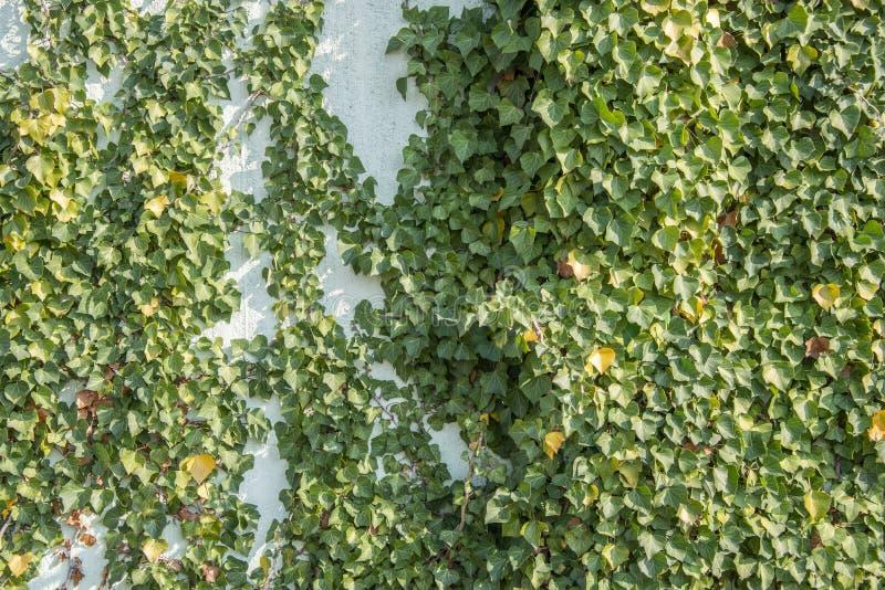 Hélice de Hedera verde da folha da hera em uma parede imagens de stock royalty free