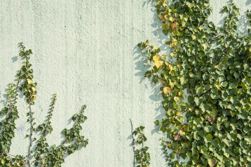Hélice de Hedera verde da folha da hera em uma parede foto de stock royalty free