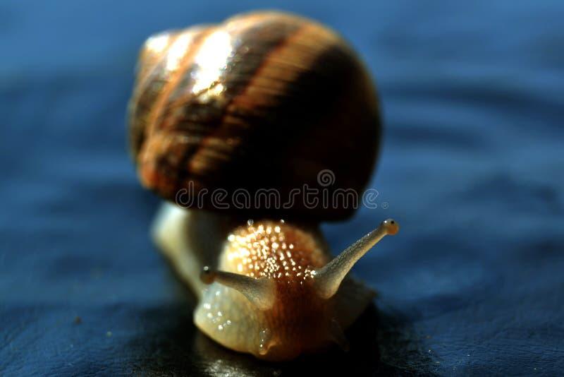 Hélice do búzio do escargot do caracol imagens de stock