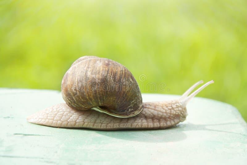 Hélice do caracol de Borgonha, caracol romano, caracol comestível, escargot que rasteja em uma madeira fotos de stock royalty free