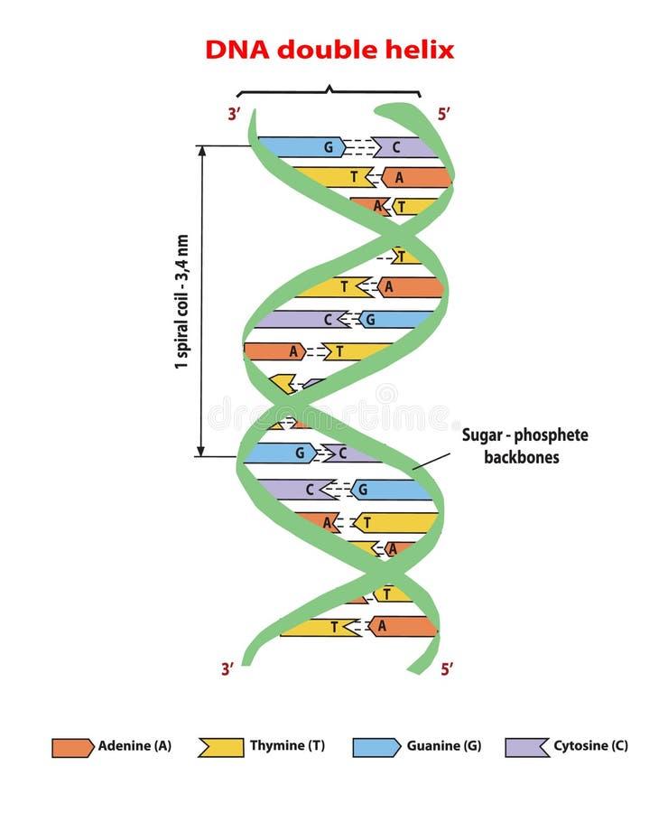 Hélice dobro da estrutura do ADN no fundo branco Nucleotide, fosfato, açúcar, e bases Gráfico da informação da educação Adenina,  ilustração royalty free