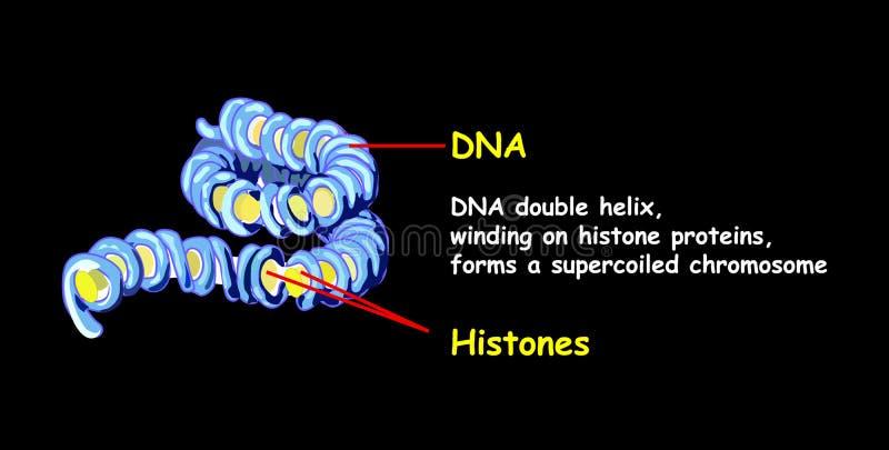 A hélice dobro do ADN que derrama em proteínas do histone forma um cromossoma do superspread Replicação do ADN isolada no preto E ilustração do vetor