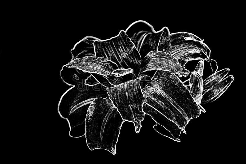 Hémérocalle en noir et blanc photo libre de droits