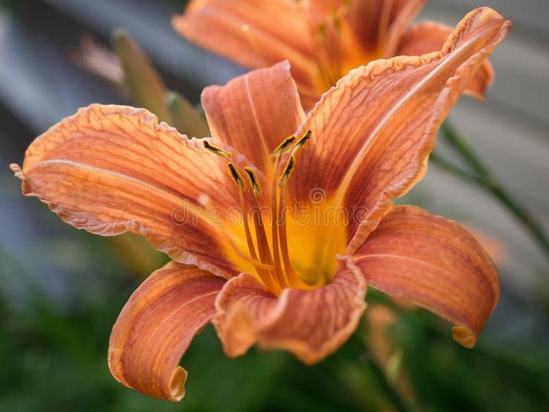 Hémérocalle orange image stock