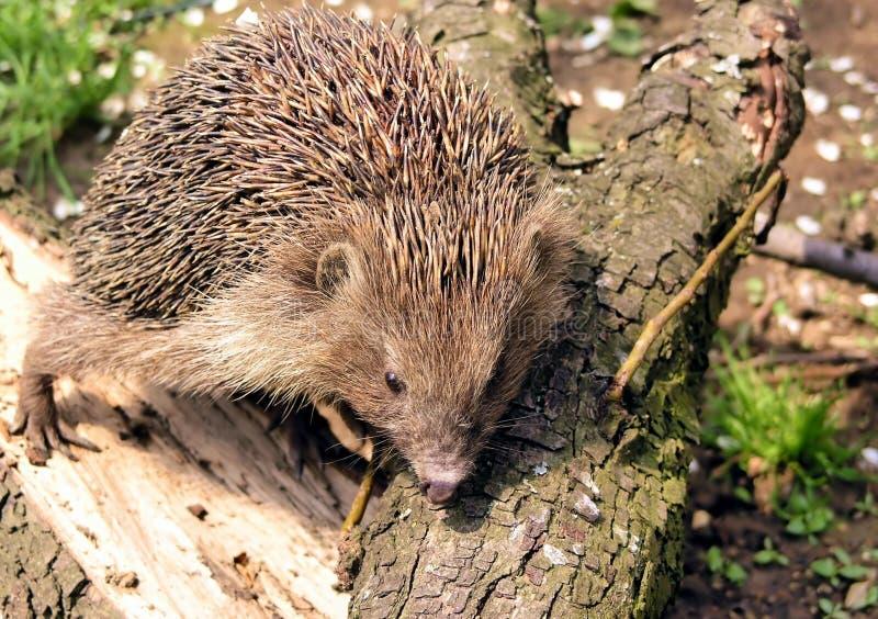 Download Hérisson photo stock. Image du faune, nature, épineux, mammifère - 726876