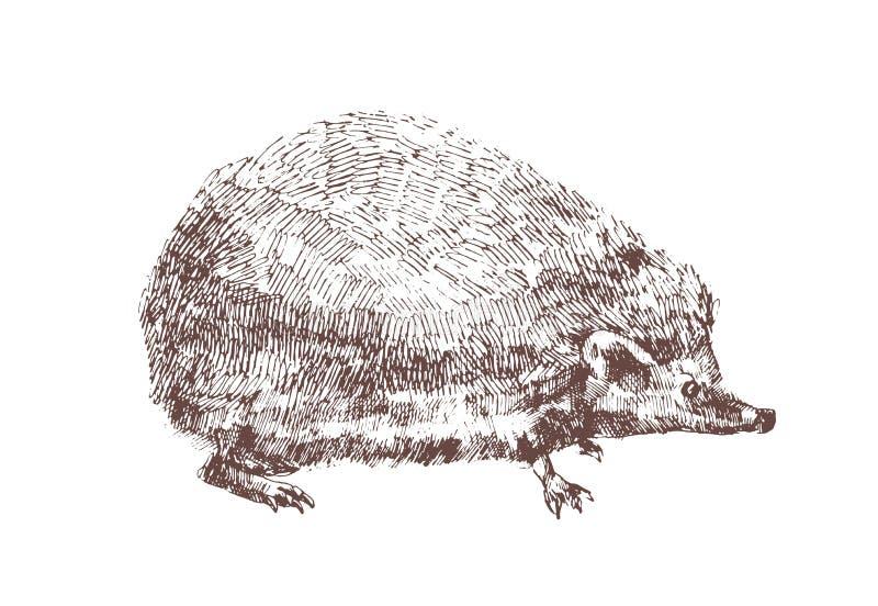 Hérisson adorable tiré par la main avec des courbes de niveau sur le fond blanc Dessin d'ensemble d'animal nocturne omnivore illustration de vecteur