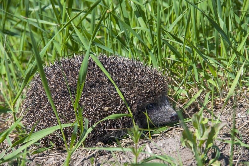 Hérisson dans l'herbe image libre de droits
