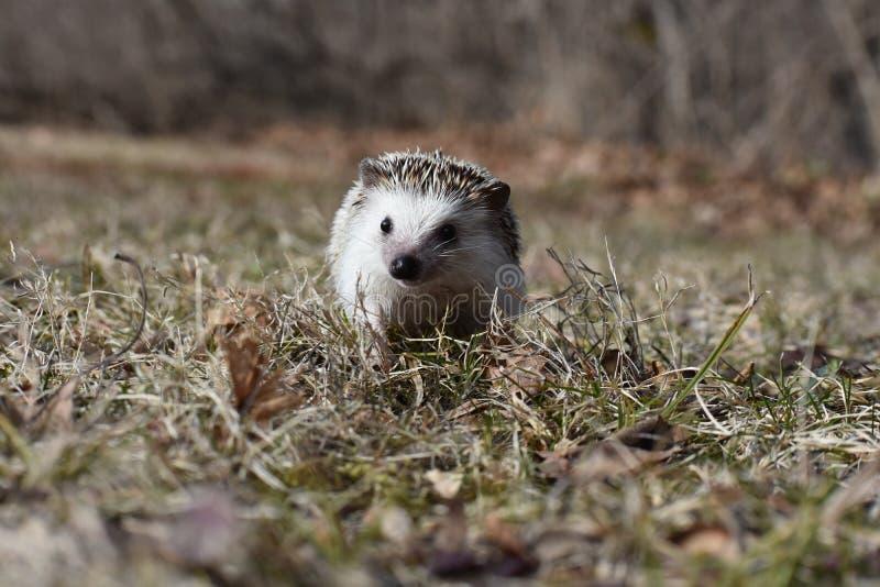 Hérisson dans l'herbe morte en automne photographie stock libre de droits
