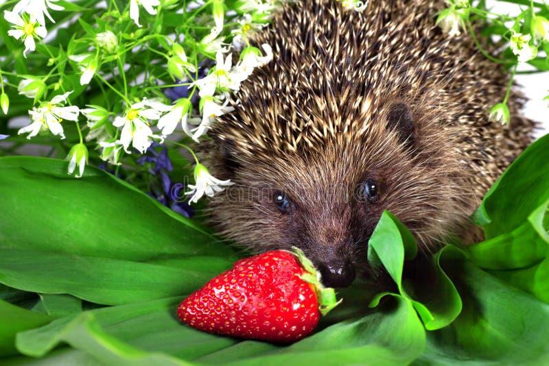 Hérisson, fleurs sauvages et fraise mûre image stock