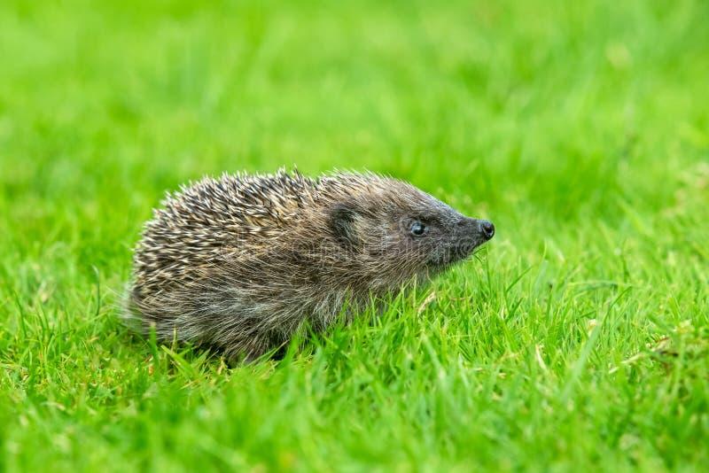 Hérisson, jeune hoglet, hérisson sauvage, indigène, européen de bébé dans l'habitat naturel de jardin sur la pelouse d'herbe vert photo libre de droits