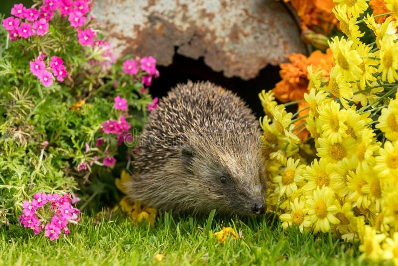 Hérisson, hérisson sauvage, indigène, européen dans l'habitat naturel de jardin avec les fleurs colorées d'été photographie stock libre de droits