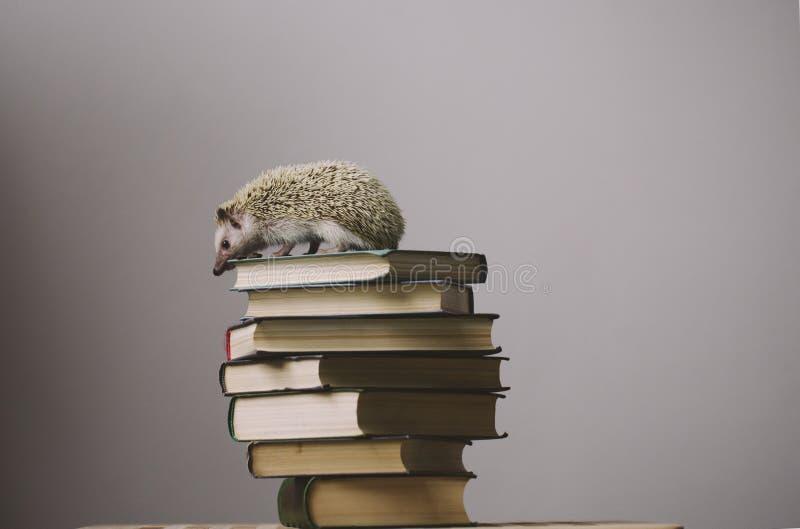 Hérisson se reposant sur le dessus des livres images stock