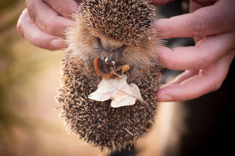 Hérisson tenant les feuilles sèches dans des mains du ` un s d'humain photos stock