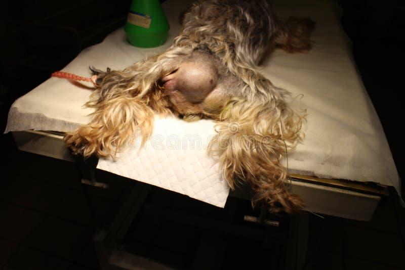 Hérnia Perineal pelo cão fotografia de stock royalty free