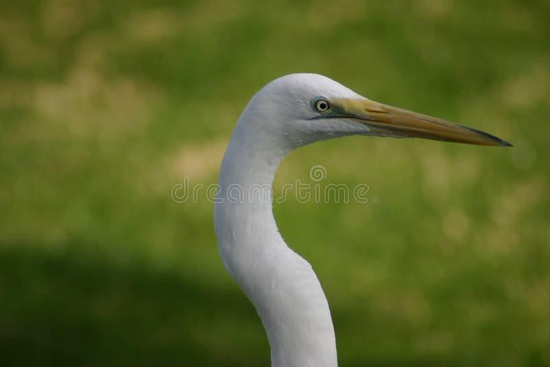 Héron blanc photos stock