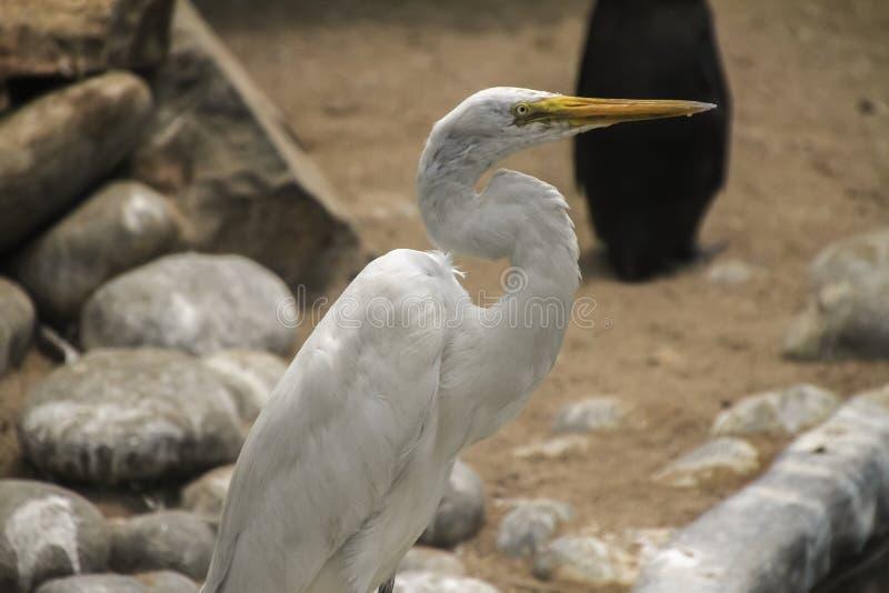 Héron blanc photo stock