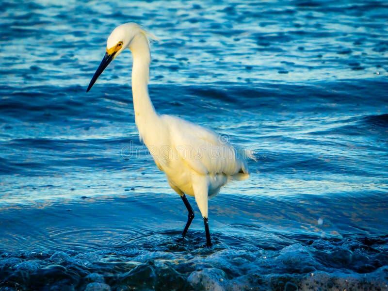 Héron blanc en ressac bleu images stock