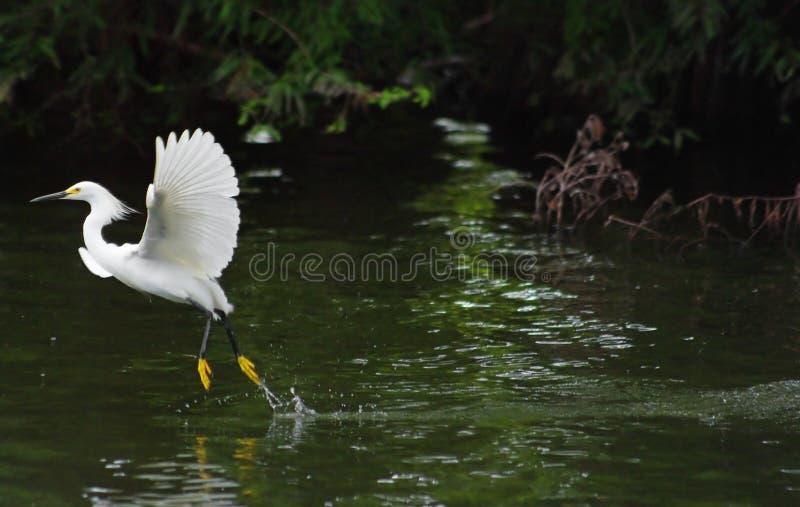 Héron blanc enlevant photos stock
