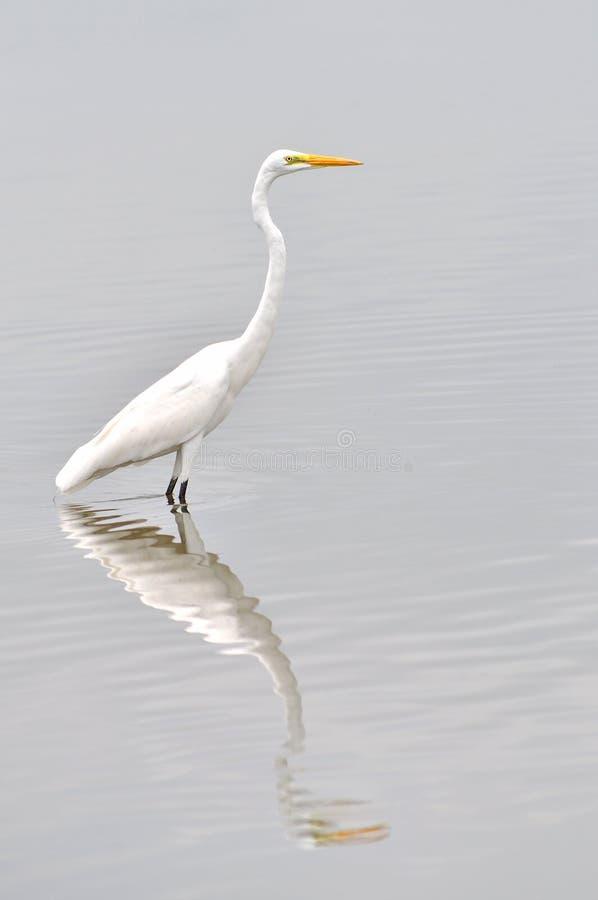 Héron blanc grand photographie stock libre de droits