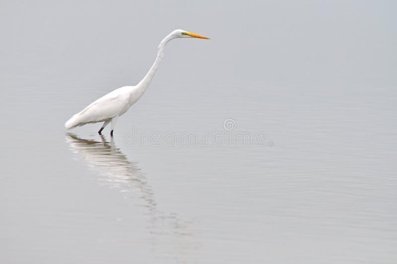 Héron blanc grand images stock