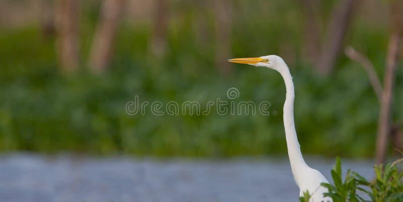 Héron blanc grand photo libre de droits