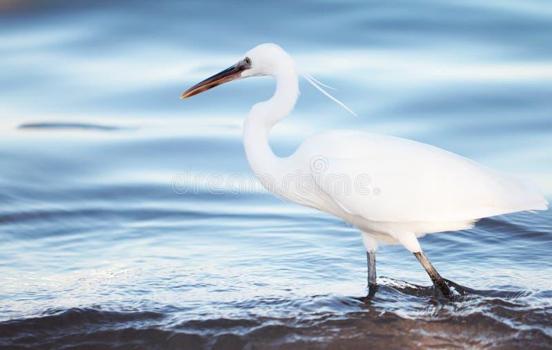 Héron blanc le bord de mer photographie stock