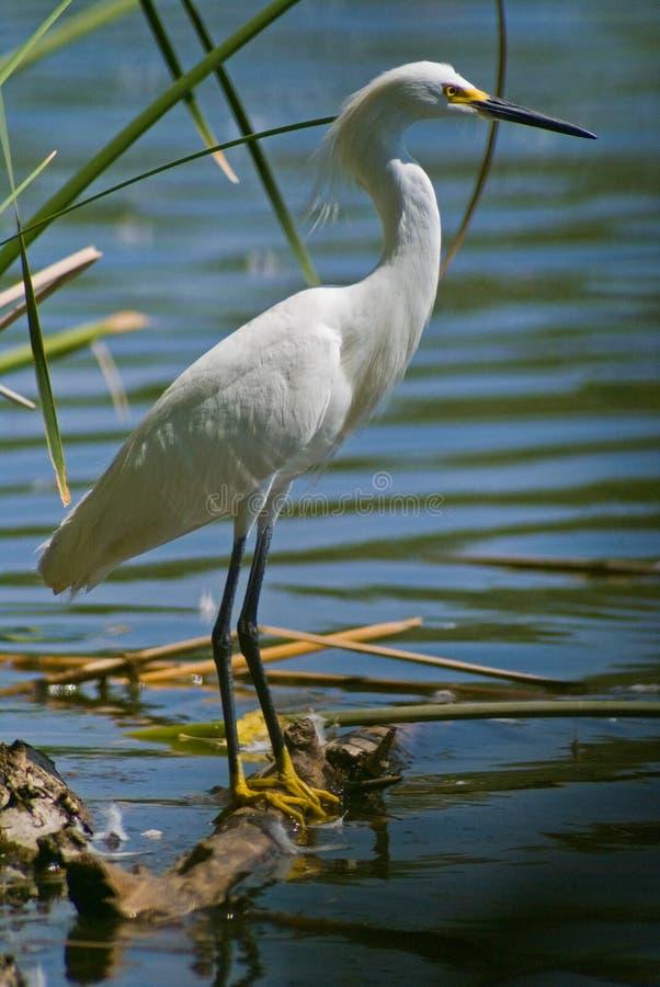 Héron blanc par le lac photographie stock
