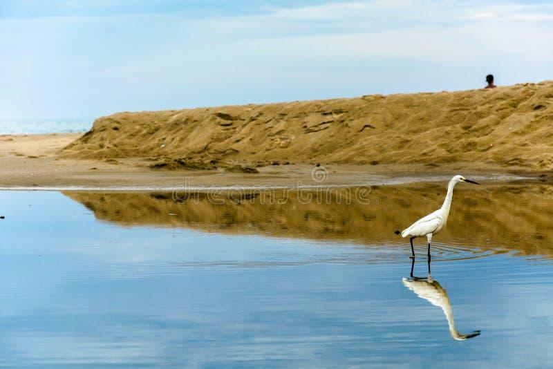 Héron blanc sur un magma complètement des réflexions près de la mer photographie stock libre de droits