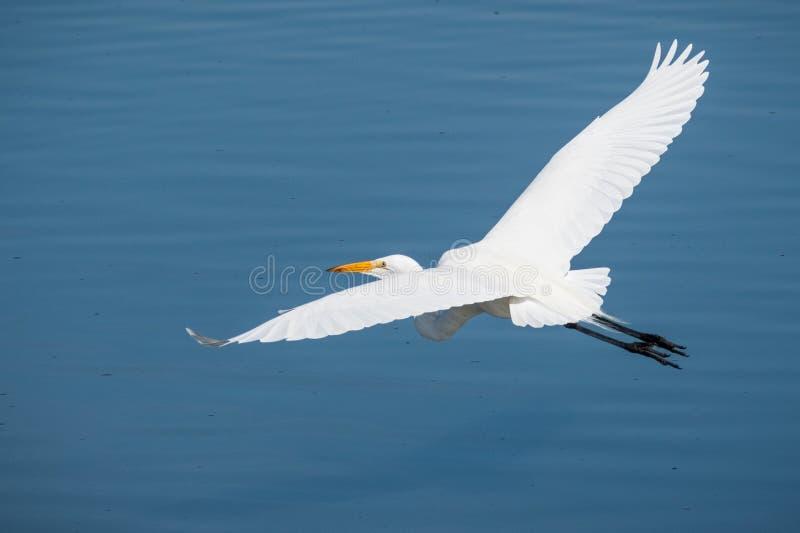 Héron blanc volant au-dessus de l'eau bleue d'un étang photographie stock libre de droits
