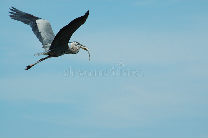 Héron bleu volant avec le loquet images stock